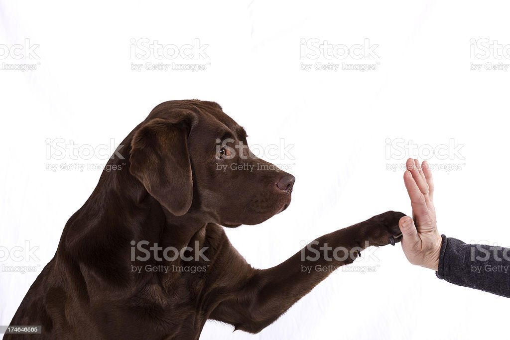 Chocolate Labrador giving it`s paw. royalty-free stock photo