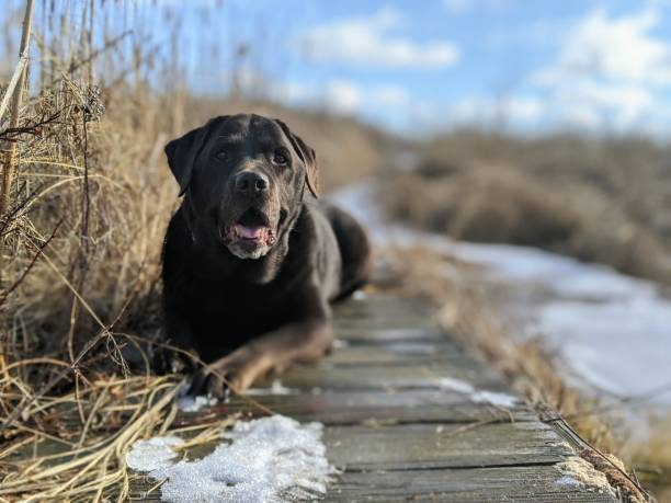 Chocolate Labrador in Nature Chocolate Brown Labrador Dog laying on a wooden footbridge. roundworm stock pictures, royalty-free photos & images
