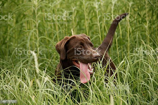 Photo of Chocolate Labrador in tall grass