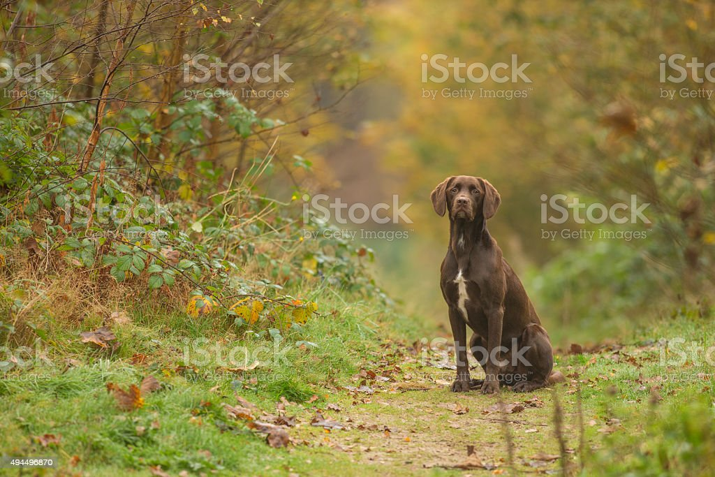 Chocolate Labrador in woodland during fall stock photo