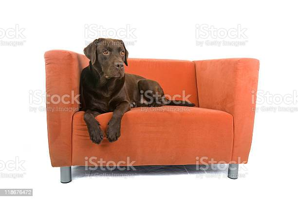 Chocolate labrador laying on orange chair picture id118676472?b=1&k=6&m=118676472&s=612x612&h=mipmb2g9a7uxxwrlaeeml8cq86gietrpzddg khrezw=