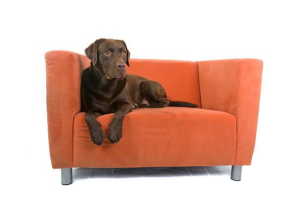 Chocolate labrador laying on orange chair picture id118676472?b=1&k=6&m=118676472&s=612x612&w=0&h=whjfk8ono6lm7jbetpizianczhaapzormfusef btwu=