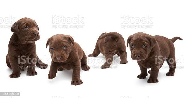 Chocolate labrador puppies picture id155145205?b=1&k=6&m=155145205&s=612x612&h=i2dhfcjvunzkjm7xjglxfyyqadyyaxaqmsp9cl3rmuo=