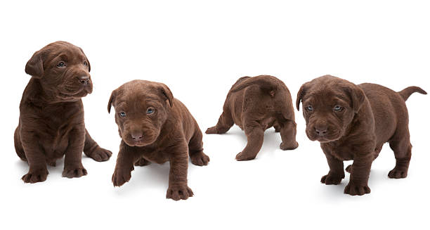 Chocolate labrador puppies picture id155145205?b=1&k=6&m=155145205&s=612x612&w=0&h=gevqdyoxurcig3sit3oo0ls09sxm8sw1tl5ufbrh14u=