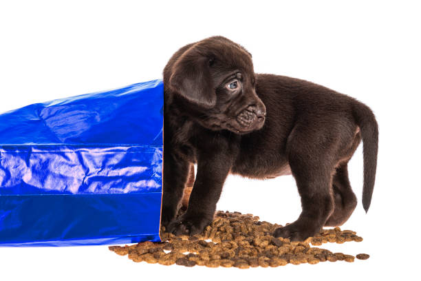 Chocolate Labrador puppy caught eating from spilled dog food bag - 5 weeks old A cute young Chocolate Labrador puppy, looking back as she is caught eating kibble from a blue paper bag of dog food that has spilled on a white background feeding frenzy stock pictures, royalty-free photos & images