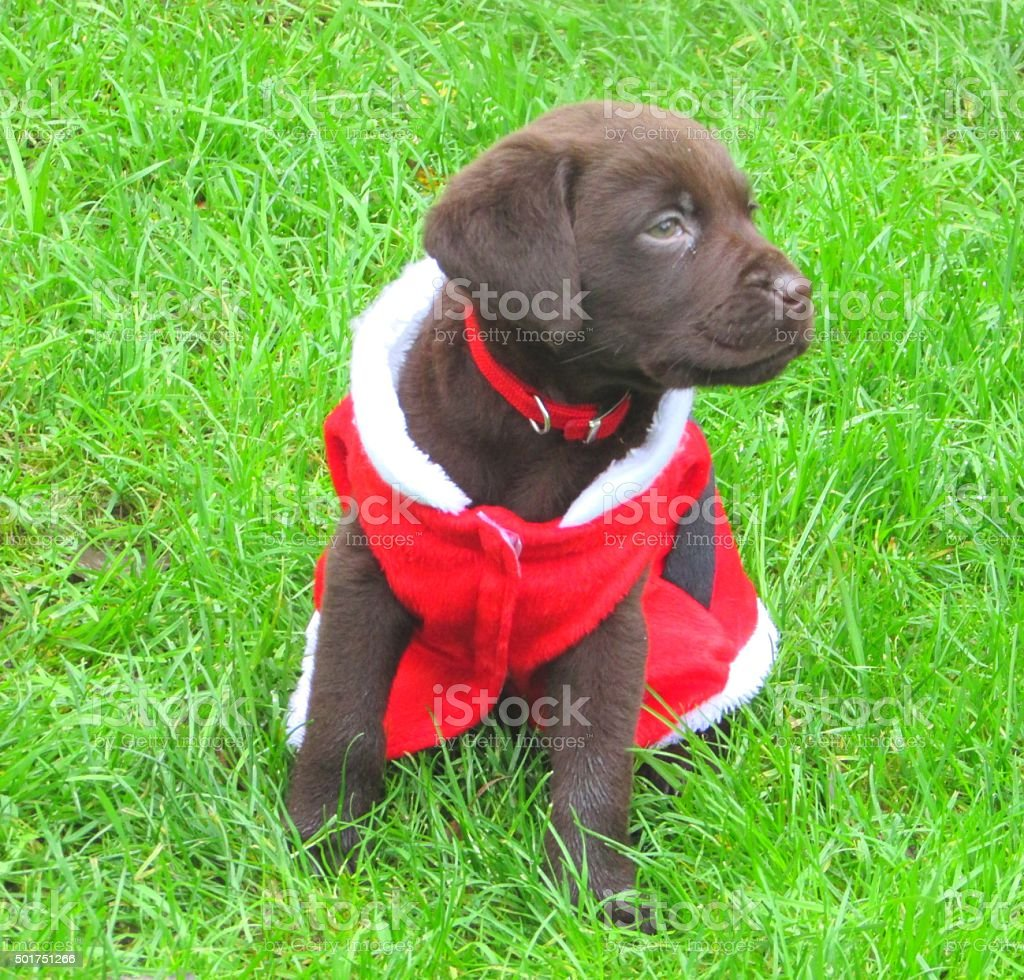 Chocolate Labrador Puppy Christmas Background Stock Photo Download Image Now Istock