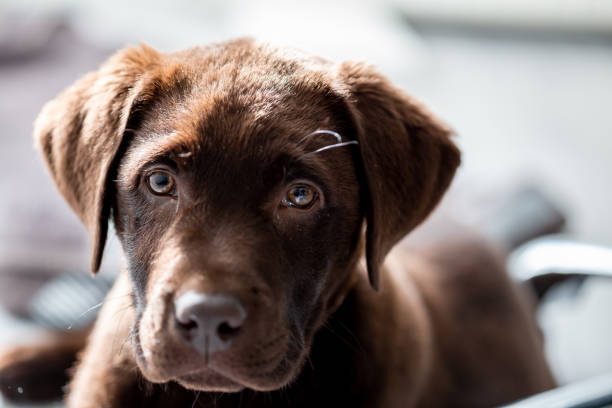 Chocolate labrador puppy close up stock photo