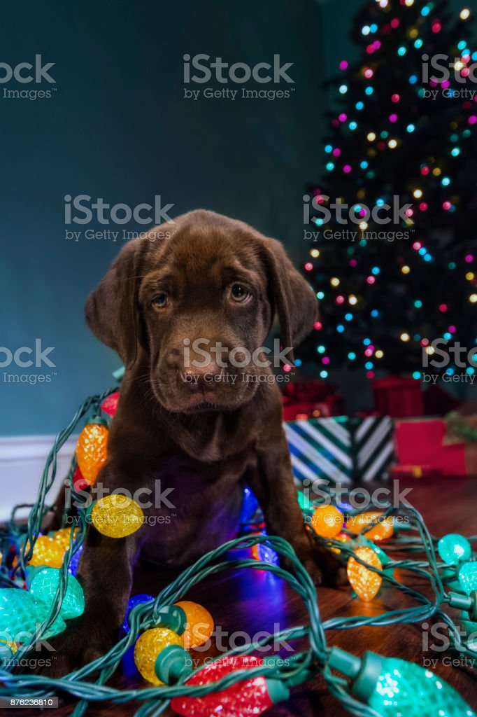 A Chocolate Labrador Puppy Curious About The Christmas Decorations Looking At The Camera 8 Weeks Old Stock Photo Download Image Now Istock