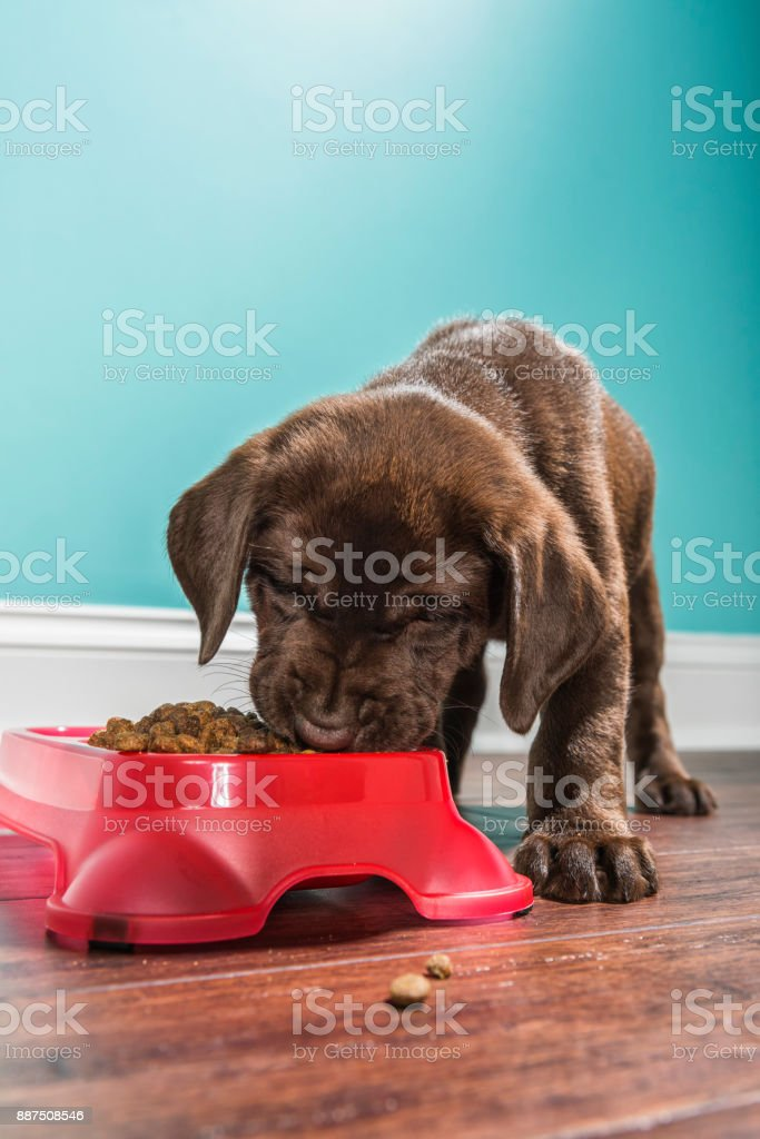 A Chocolate Labrador puppy eating from a pet dish, - 7 weeks old stock photo