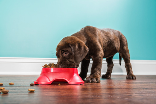 A low angle view of a cute adorable 7 week old Chocolate Labrador Retriever puppy eating from a red dog dish that is sitting on a dark hardwood floor with a white baseboard and teal colored wall in the background