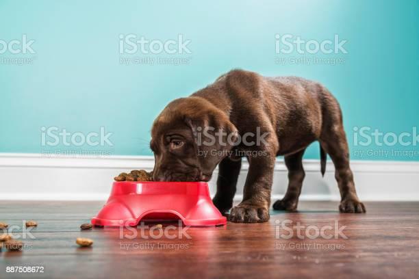 Chocolate labrador puppy eating from a pet dish 7 weeks old picture id887508672?b=1&k=6&m=887508672&s=612x612&h=fa5w3kii0ajmrkhq 2upbjkhr59zezu n63gxnlersy=