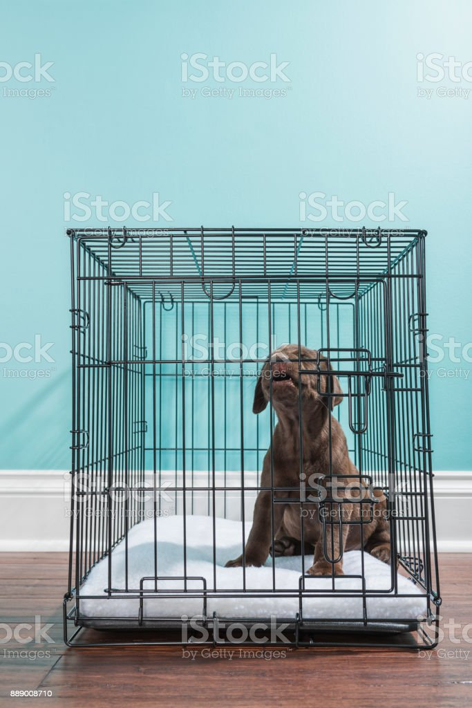 Chocolate Labrador Puppy Howling While In A Wire Dog Crate 7 Weeks ...