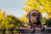 A cute young Chocolate Labrador puppy standing in a faux wooden half barrel with her paws over the edge, outside with yellow Autumn leaves in the background