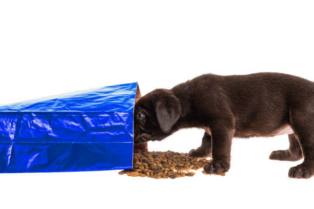 Chocolate Labrador puppy looking into spilled food bag - 5 weeks old A cute young Chocolate Labrador puppy looking into a blue paper bag of dog food that has spilled kibble on a white background feeding frenzy stock pictures, royalty-free photos & images