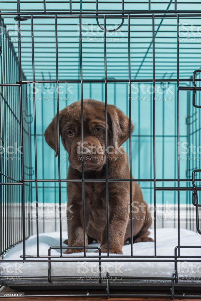 Chocolate Labrador Puppy Looking Sad While In A Wire Dog Crate 7 ...