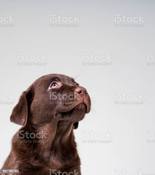 Chocolate labrador puppy looking up picture id992799780?b=1&k=6&m=992799780&s=612x612&h=bpaw8oc7ppqj xs0jw2u3z3m3tspwpk mmukzi7dxvg=