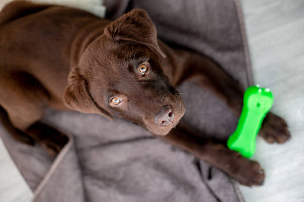 Chocolate labrador puppy lying and chewing a dog bone stock photo