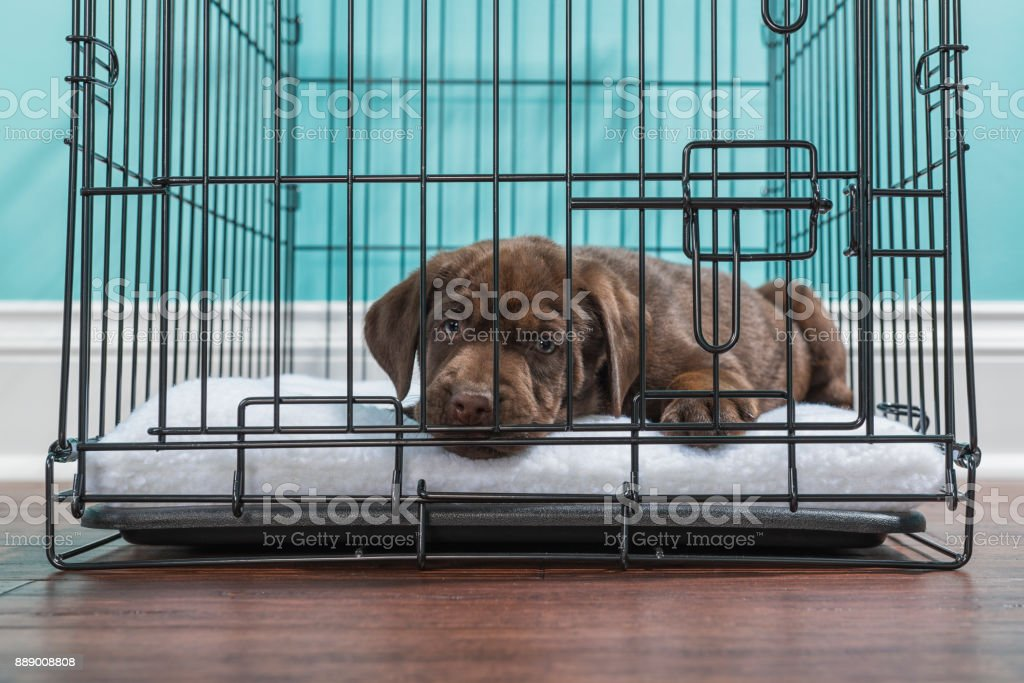 Chocolate Labrador Puppy lying down in a wire crate- 7 weeks old stock photo