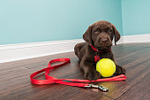 A cute young Chocolate Labrador puppy lying down on the hardwood floor with a white baseboard and green wall in the background, looking at the camera while wearing a red nylon collar with red bone shaped dog tag with a red nylon leash and a yellow tennis ball on the floor, waiting to be walked.