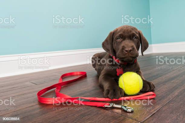 Chocolate labrador puppy lying down wearing a red collar with leash picture id906038654?b=1&k=6&m=906038654&s=612x612&h=a uyeewutfnigrf3gob1lgaivo6le4jqmttdilnxfge=