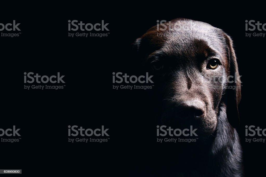 Chocolate Labrador Puppy stok fotoğrafı