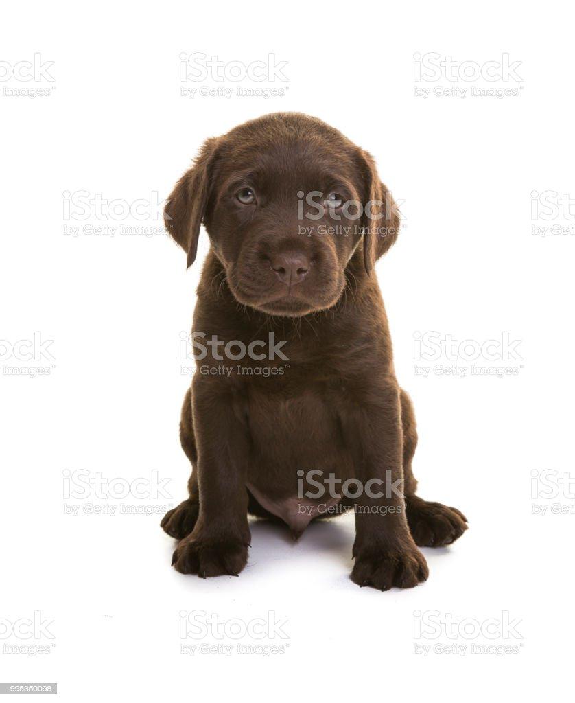 Chocolate Labrador Puppy Fotografie Stock E Altre Immagini Di