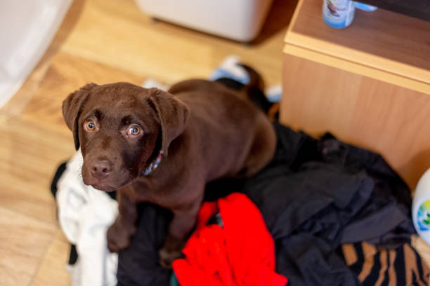 Chocolate labrador puppy playing on laundry stock photo