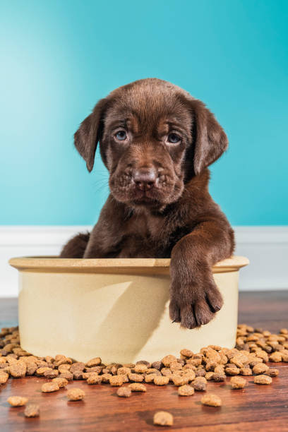 Chocolate labrador puppy sitting in large dog bowl 5 weeks old picture id866757630?b=1&k=6&m=866757630&s=612x612&w=0&h=hzigqejnyixsfr8lja753its54qa7zzqlq6ndmpyyts=