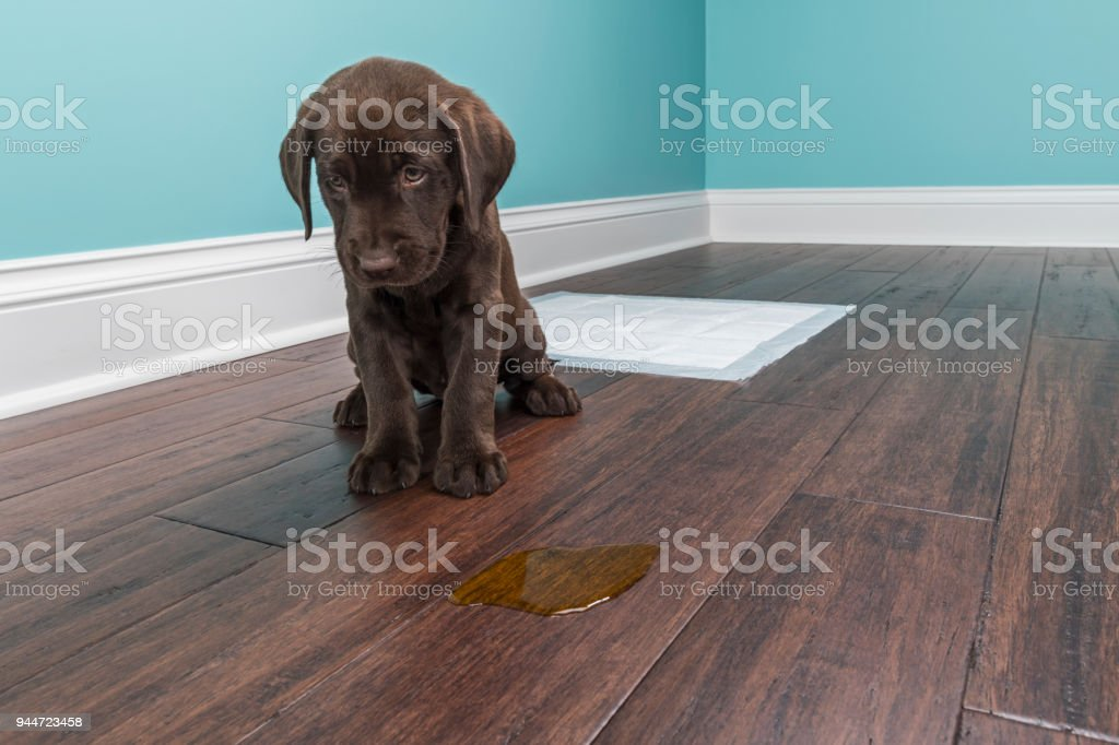 A Chocolate Labrador puppy sitting next to pee on wood floor - 8 weeks old