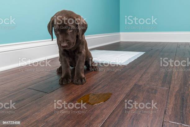 Chocolate labrador puppy sitting next to pee on wood floor 8 weeks picture id944723458?b=1&k=6&m=944723458&s=612x612&h=yhw 1lg pfqi bb8griu1w8r0e96dz3cxpumkgq1gkk=