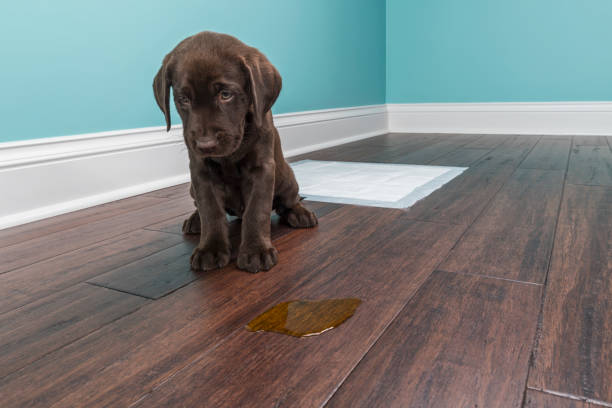 A Chocolate Labrador puppy sitting next to pee on wood floor - 8 weeks old A distraught 8 week old Chocolate Labrador Retriever sitting next to a urine puddle on the hardwood floor because they missed the training pad behind them. Anybody that has had a young puppy knows the process of house breaking a puppy can be difficult. guilty stock pictures, royalty-free photos & images