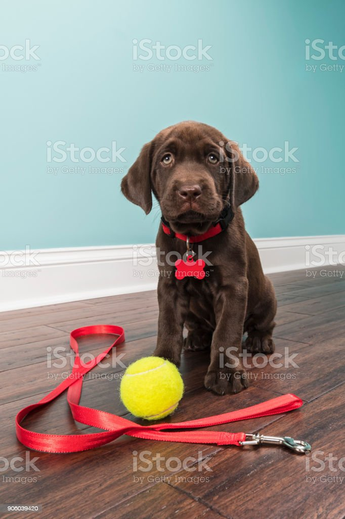 A Chocolate Labrador Puppy sitting wearing a red collar with leash and tennis ball - 7 weeks old stock photo