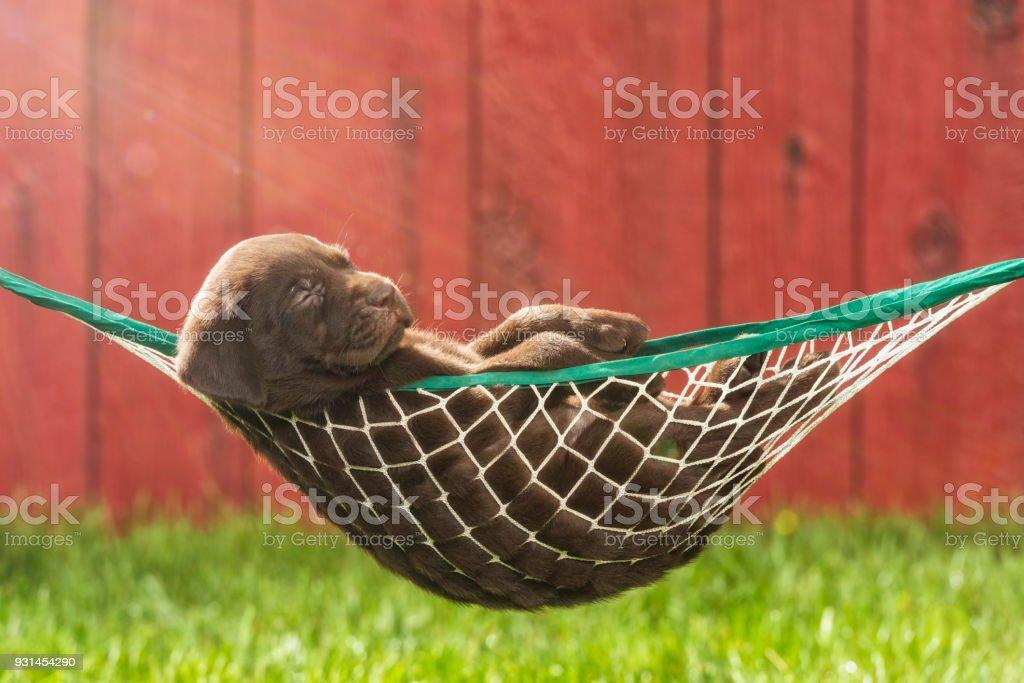 A Chocolate Labrador Puppy Sleeping A Hammock Outside 5