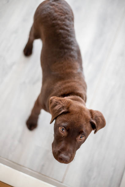Chocolate labrador puppy staring at camera stock photo