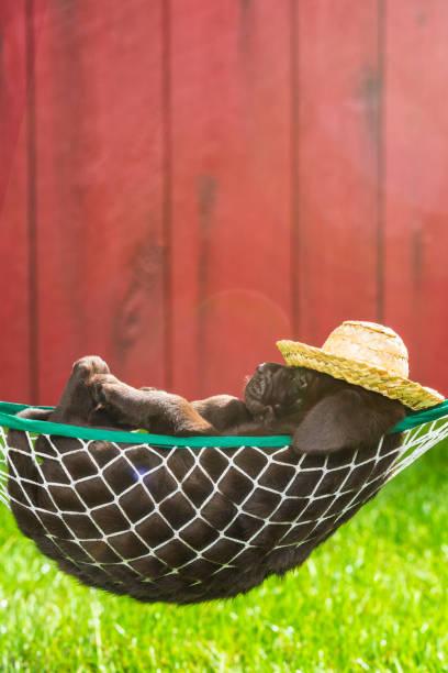 ein chocolate labrador-welpe, wobei eine siesta in einer hängematte außerhalb - 5 wochen alt - traumscheune stock-fotos und bilder
