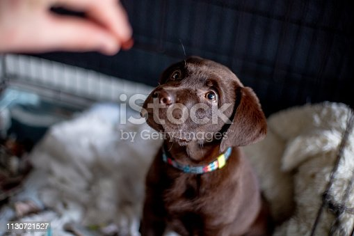 Cute labrador puppy, 11 weeks old in gate