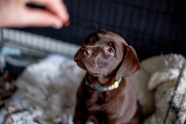 Chocolate labrador puppy waiting for food stock photo