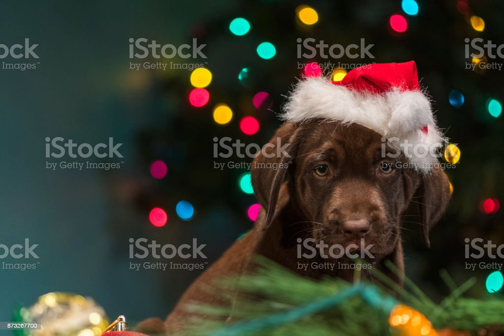A Chocolate Labrador puppy wearing Santa Hat sitting among the Christmas decorations - 8 weeks old stock photo