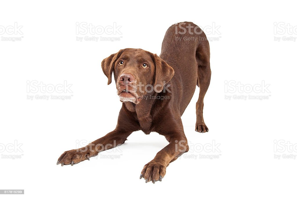 Chocolate Labrador Retriever Dog In Downdog Postion stock photo
