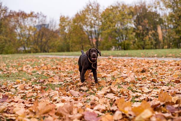 Chocolate Labrador Retriever Dog stock photo
