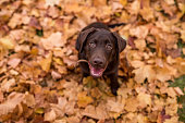 Chocolate Labrador Retriever sitting in the Park. Autumn leaves in Background