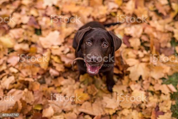 Chocolate labrador retriever dog picture id623442742?b=1&k=6&m=623442742&s=612x612&h=ax4gzffcvxcrki3aq4pu4yb49tcl7sob3zvwiw30nqi=