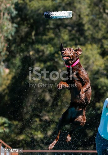Choclate Lab at a dock diving event jumping up to catch a toy