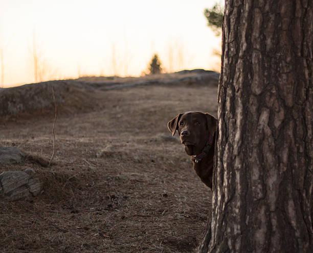 Chocolate Labrador Retriever Looking Out the Tree stock photo