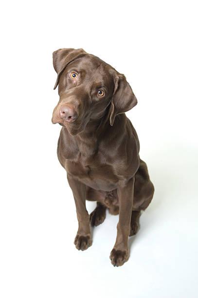 Chocolate labrador retriever picture id157194316?b=1&k=6&m=157194316&s=612x612&w=0&h=cuqbdcxjsyv2tx43mxlqrpgmadhk627lustqnomltka=