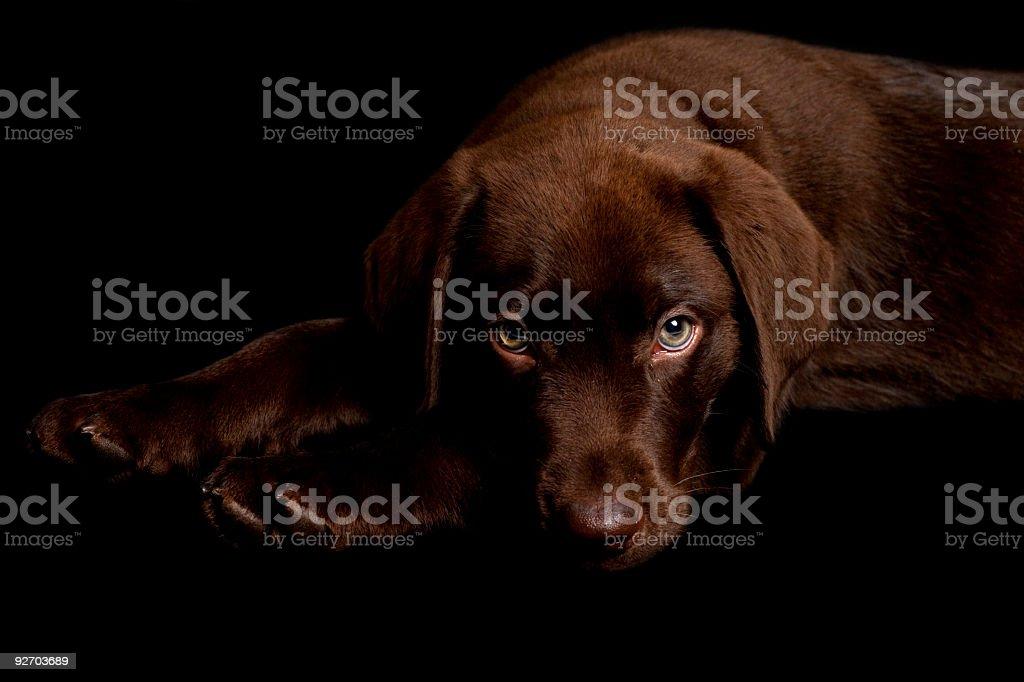 Chocolate Labrador Retriever royalty-free stock photo