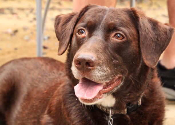 chocolate labrador retriever posiert mit keuchend zunge im hinterhof - hunde aus dem tierheim stock-fotos und bilder