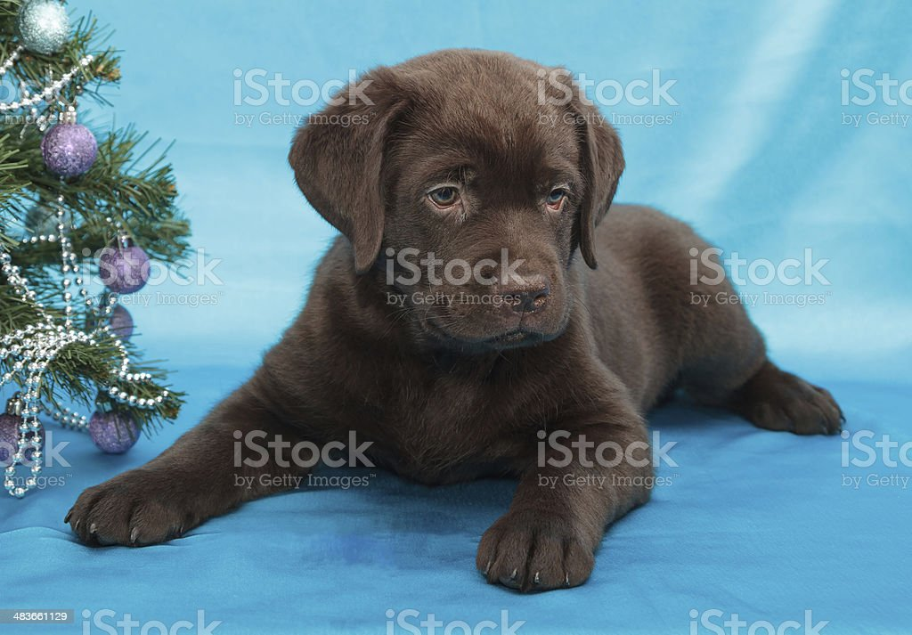 Chocolate Labrador Retriever Puppy Stock Photo Download Image Now Istock