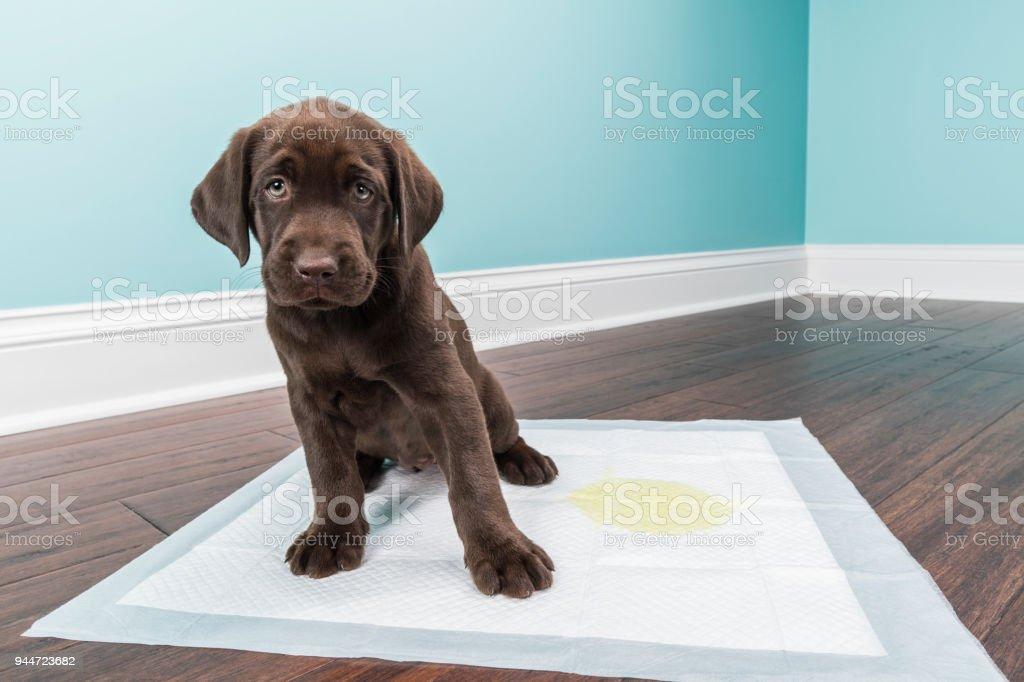 Chocolate Labrador Retriever puppy sitting on the training pad - 8 weeks old stock photo