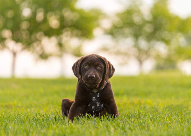 Chocolate labrador retriever puppy staring intently at the camera stock photo